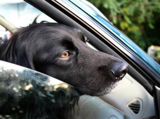 dog with head out of window jpg 838x0 q67 crop smart