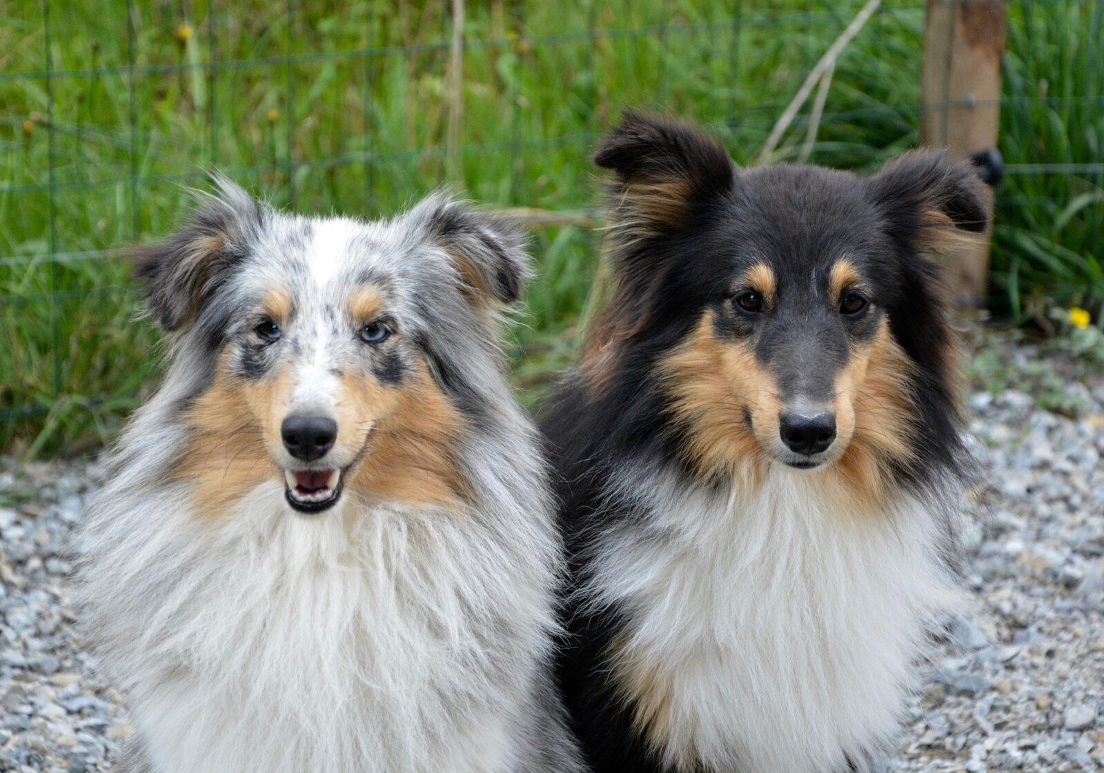 dog breed mating